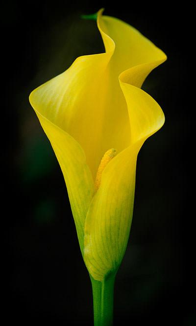 Yellow Cala