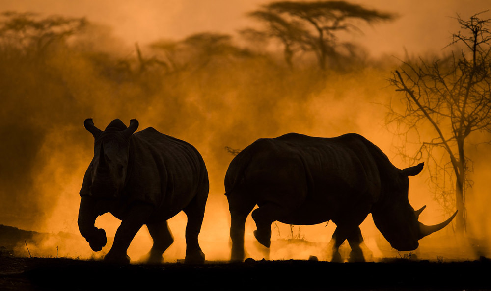 Backlit white rhinos at sunset.