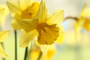 17 Top Tips On How To Photograph Daffodils