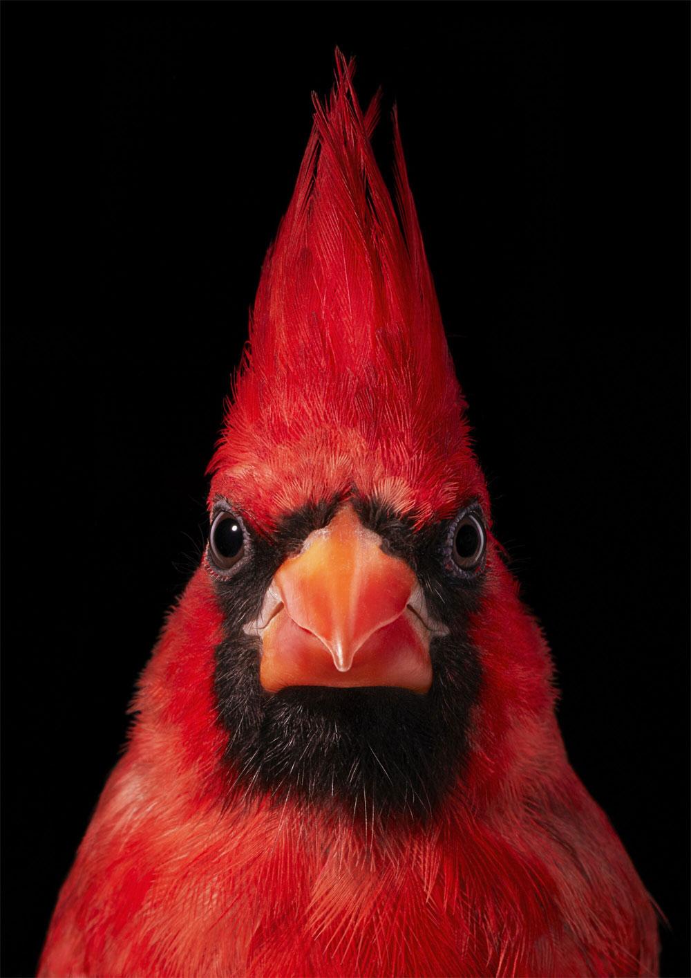 Virginia Cardinal bird © Tim Flach.