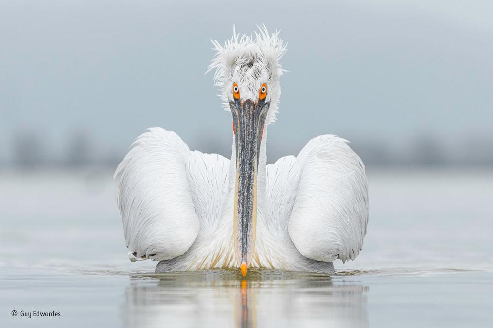 The Dalmatian pelican