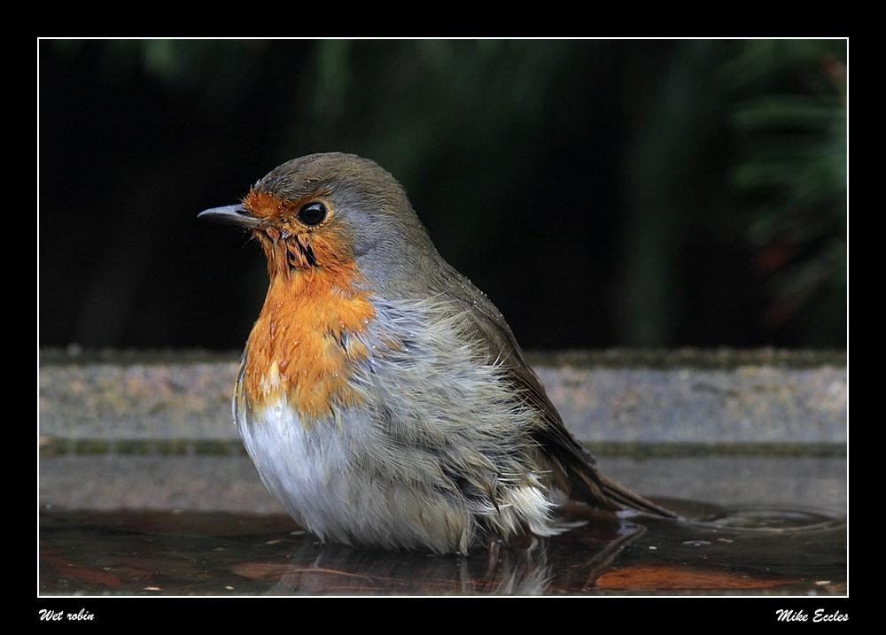 Wet robin