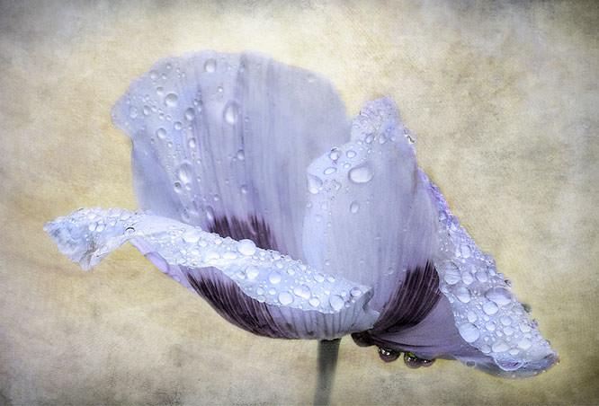 Drops of rain on a flower
