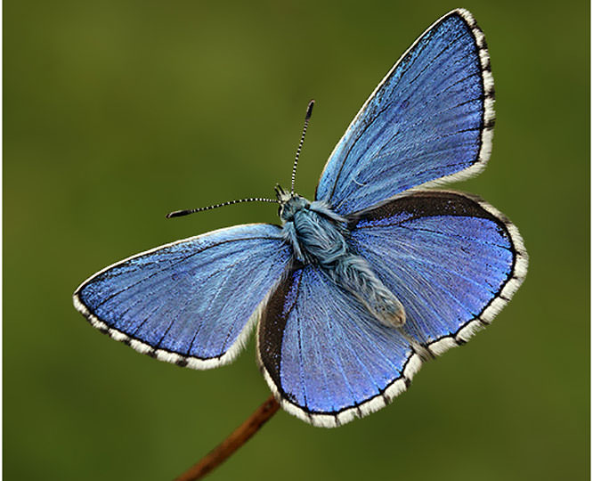 NigelKiteley Adonis Blue