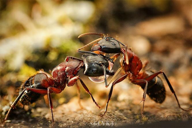 Flykt ants