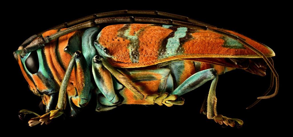 Levon Biss - Jewel Longhorn Beetle