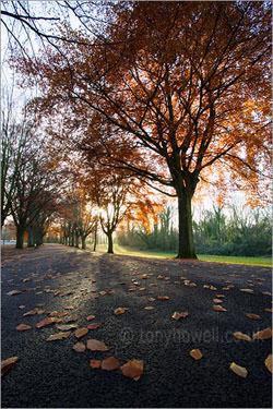 Beech Trees in Bristol by Tony Howell