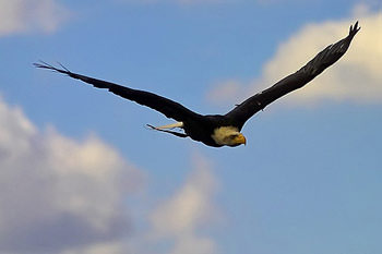 American Bald Eagle (Alaska)