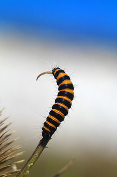 Cinnebar Moth Caterpillar
