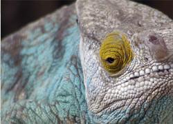 Calmer Chameleon by Alex Worthington
