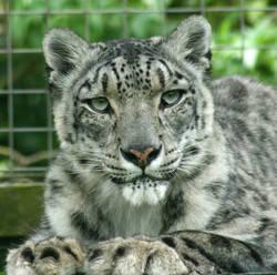 Santago Rare Leopard Project