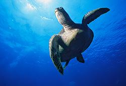 Green Turtle by Linda Pitkin