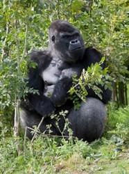 Matrin Eldrige Gorilla
