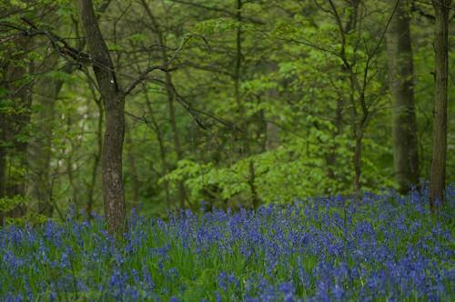 Bluebell wood - Woolley Wood,  Sheffield