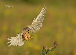 A Photo Of A Wild Kestrel Landing Wins Photo Of The Week