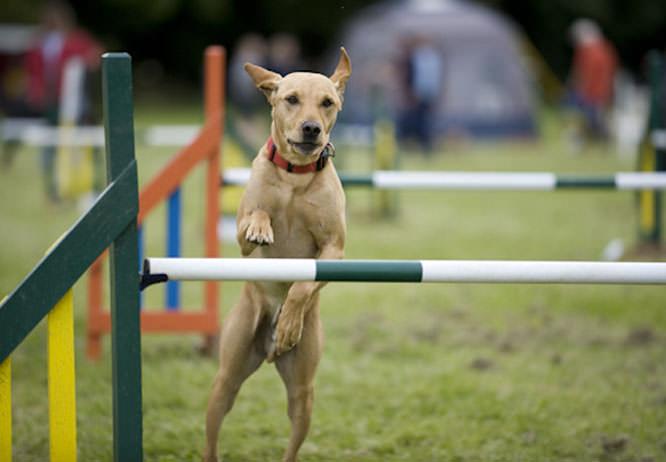 Dog agility event