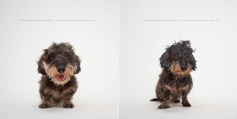Dry Dog Wet dog