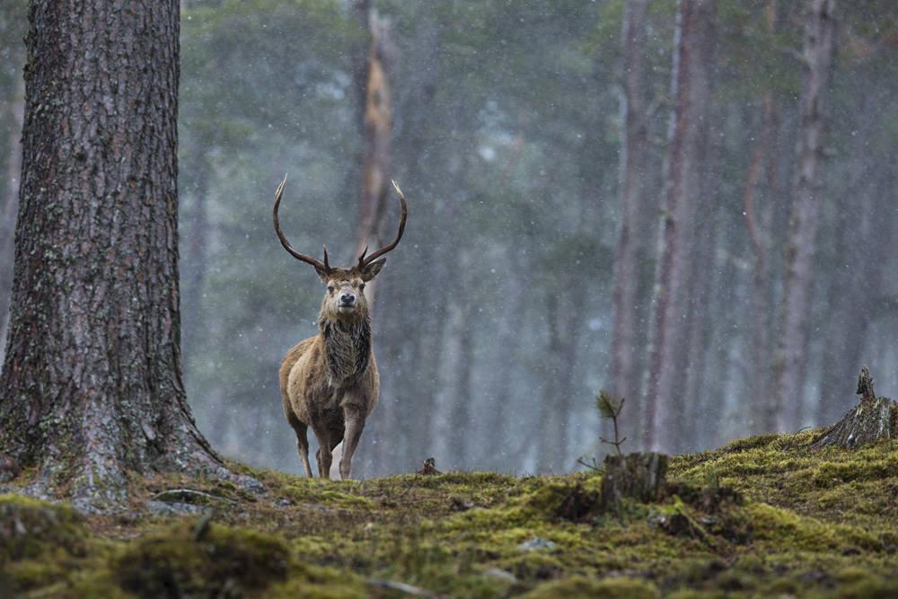 Cairngorms Woodland Wildlife