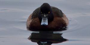 Beak, Eyes, Feathers: Identifying Different Ducks