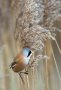 Thumbnail : Bearded Reedling Awarded POTW Accolade