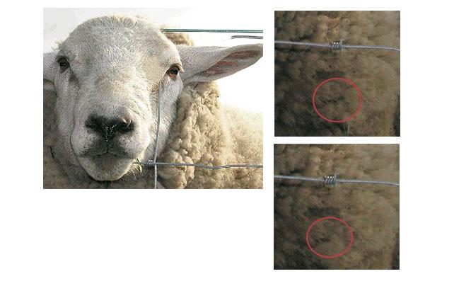 Clone Wool