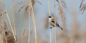 Bird of The Month - Penduline Tit