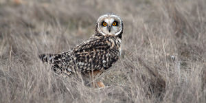 Bird Photography: The Short-Eared Owl Has Settled In Cuxhaven