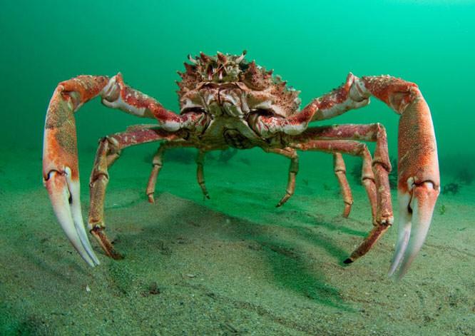 Spider crab – Trevor Rees (2010 runner up)