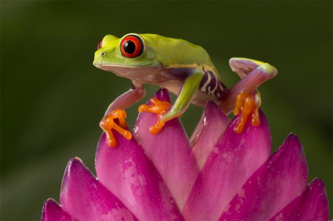 Ango Nelson frog