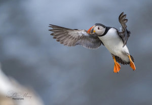 Captivating Puffin In Flight Photo Wins Photo Of The Week