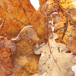 Frozen leaves - crop 2