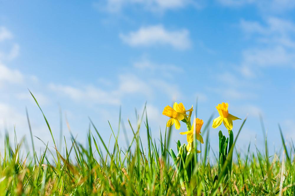 Daffodils on a green field