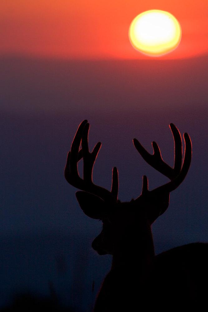 Chris Kayler White Tailed Deer Buck