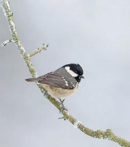 Coal Tit On Branch Awarded Photo Of The Week Accolade