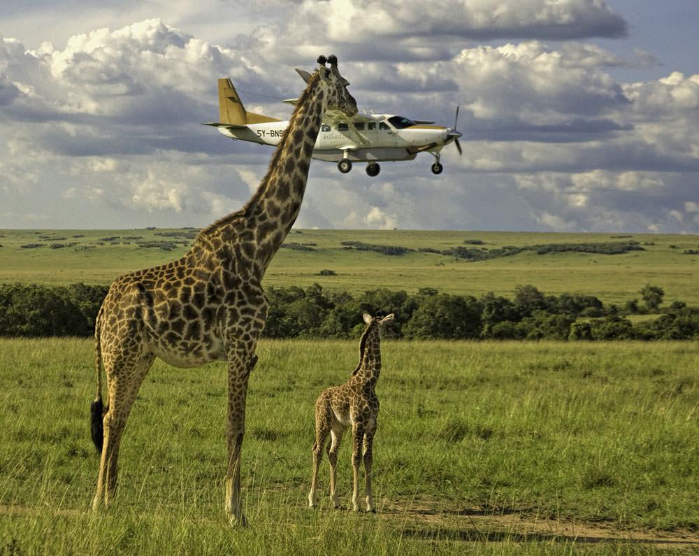 Giraffe  and a plane