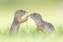 Thumbnail : Cute Ground Squirrel Image Wins POTW