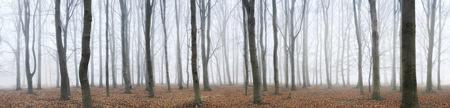 Beech trees by David Anthony Hall