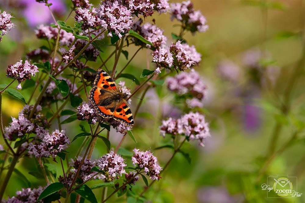 David Pritchard butterfly