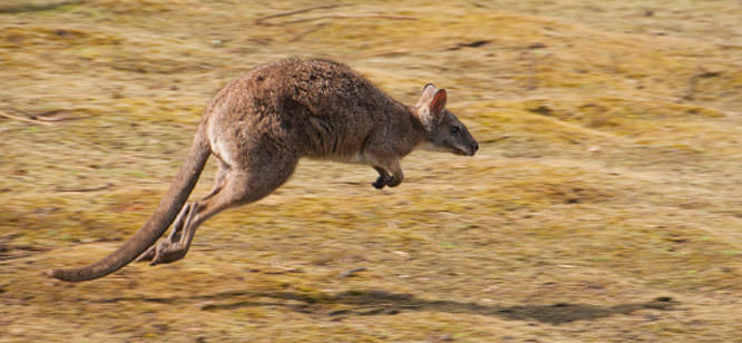 wallaby at speed
