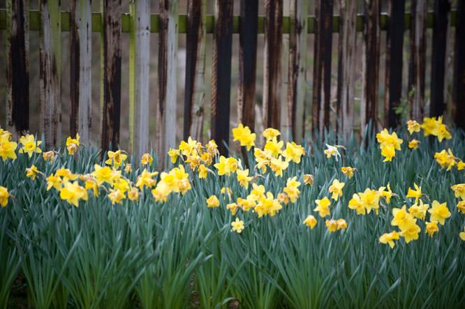 Daffodils