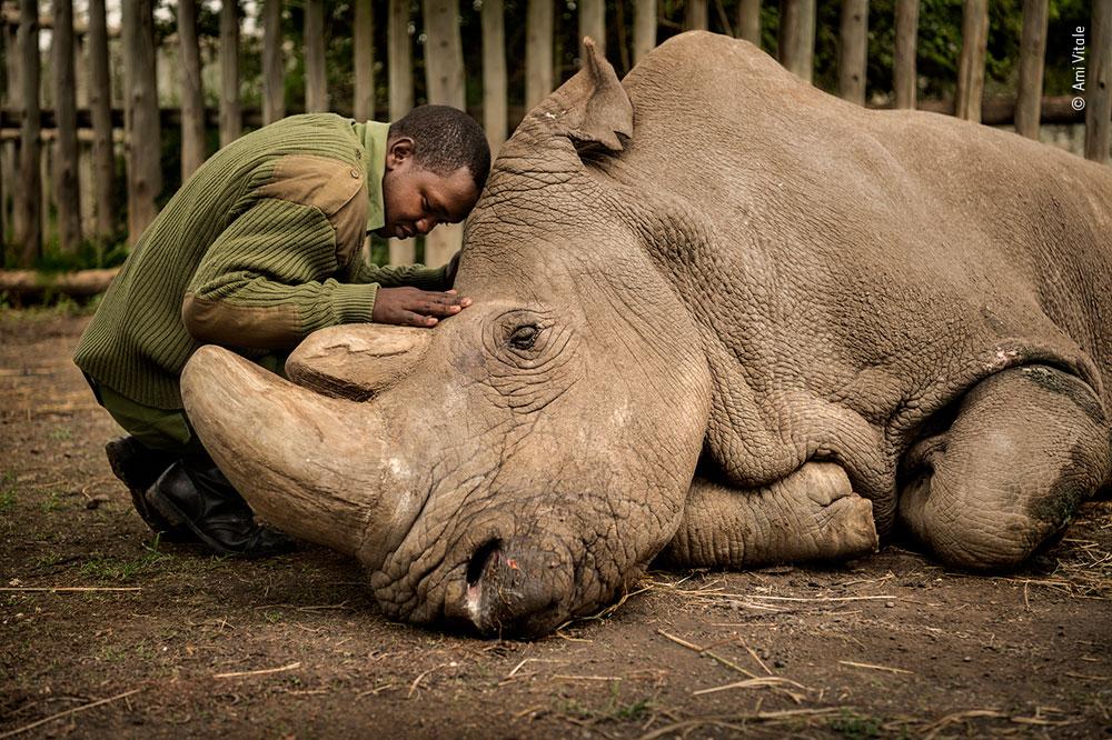 male northern white rhino