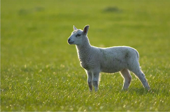 petes lamb