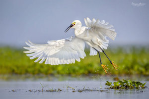 Egret Taking Off Awarded Photo Of The Week Accolade