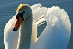 Swan photography
