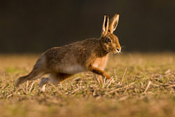 Hare photography