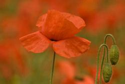 Poppy photography
