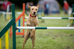 Dog agility events