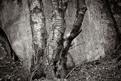 Photographing Silver Birch