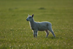 Tips on Photographing lambs