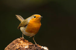 Photographing Robins